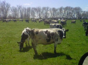 organic dairy cows on pasture May 3, 2011