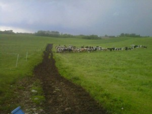 cows, storm, pasure, organic, rain, tornado,
