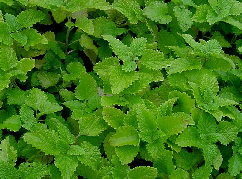 http://zweberfarms.files.wordpress.com/2011/06/lemon-balm.jpg
