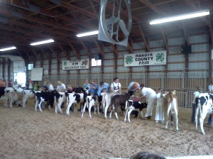 dakota county fair, calves, erik, jonnie, 2011
