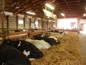 cows, heifers, calves, 2011, dakota county fair